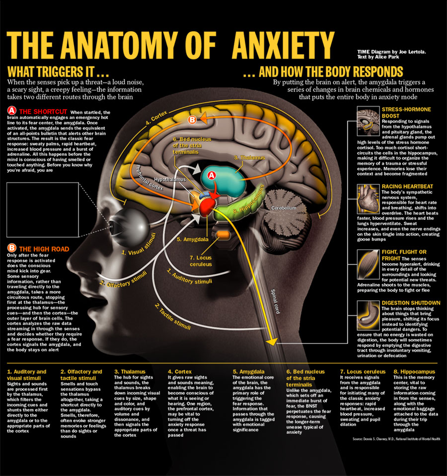 Anatomy And Biology Of Anxiety Neurosolution Neuropsychologie
